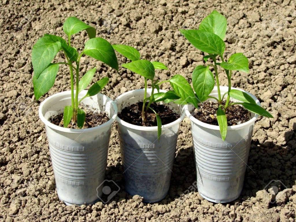 semilleros en vasos desechables de papel o plástico